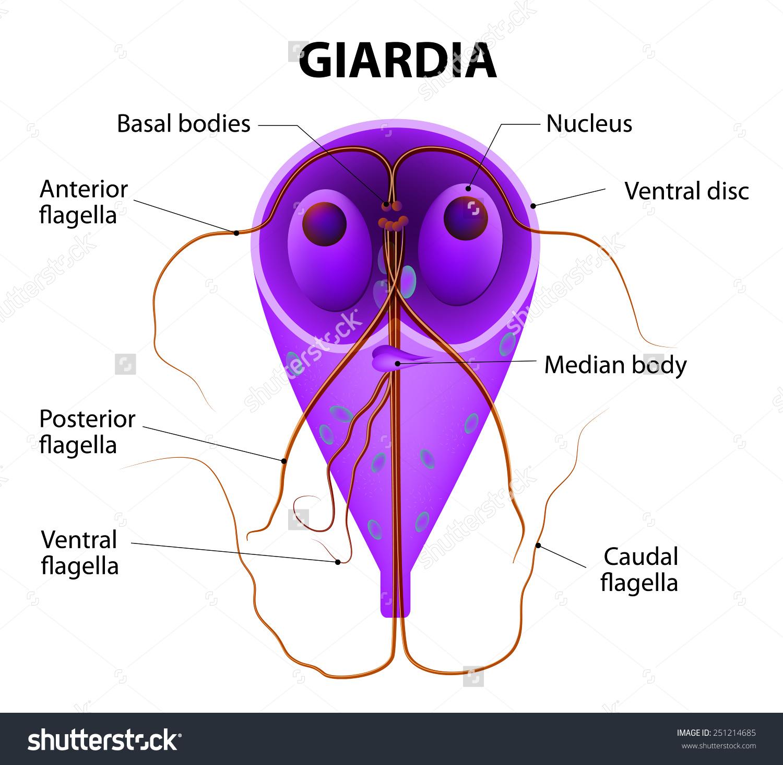 A giardiasis fertőző betegség