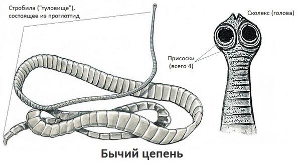 Bika szalagféreg jellemzői