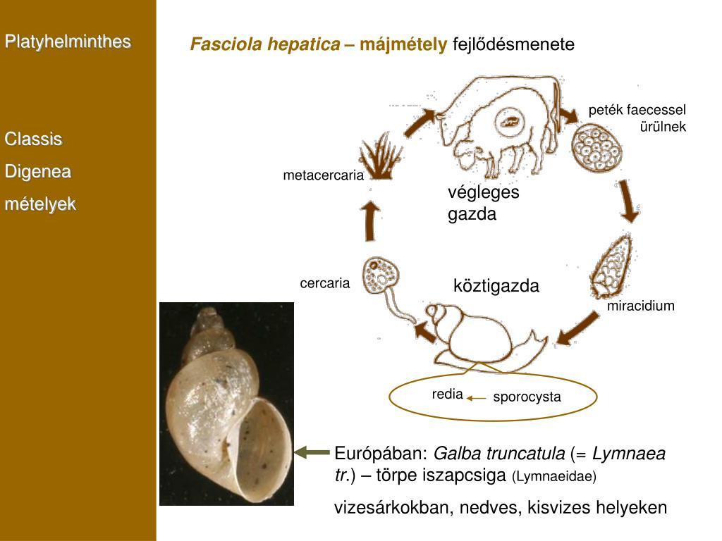 Fonálférgek (Nematoda) | Körinfo