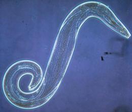 az ascaris biohelminth