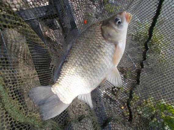 Széles kárász – nyelvprofil.hu – horgászat, horgász blog
