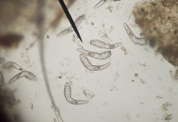 parazitakezelés ricinusolajjal giardia vax bula