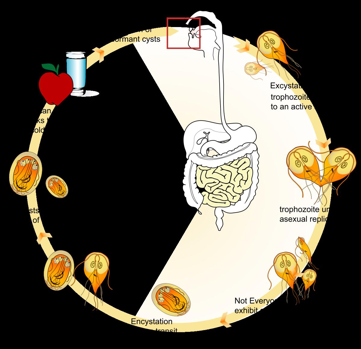 Giardia duodenalis quistes