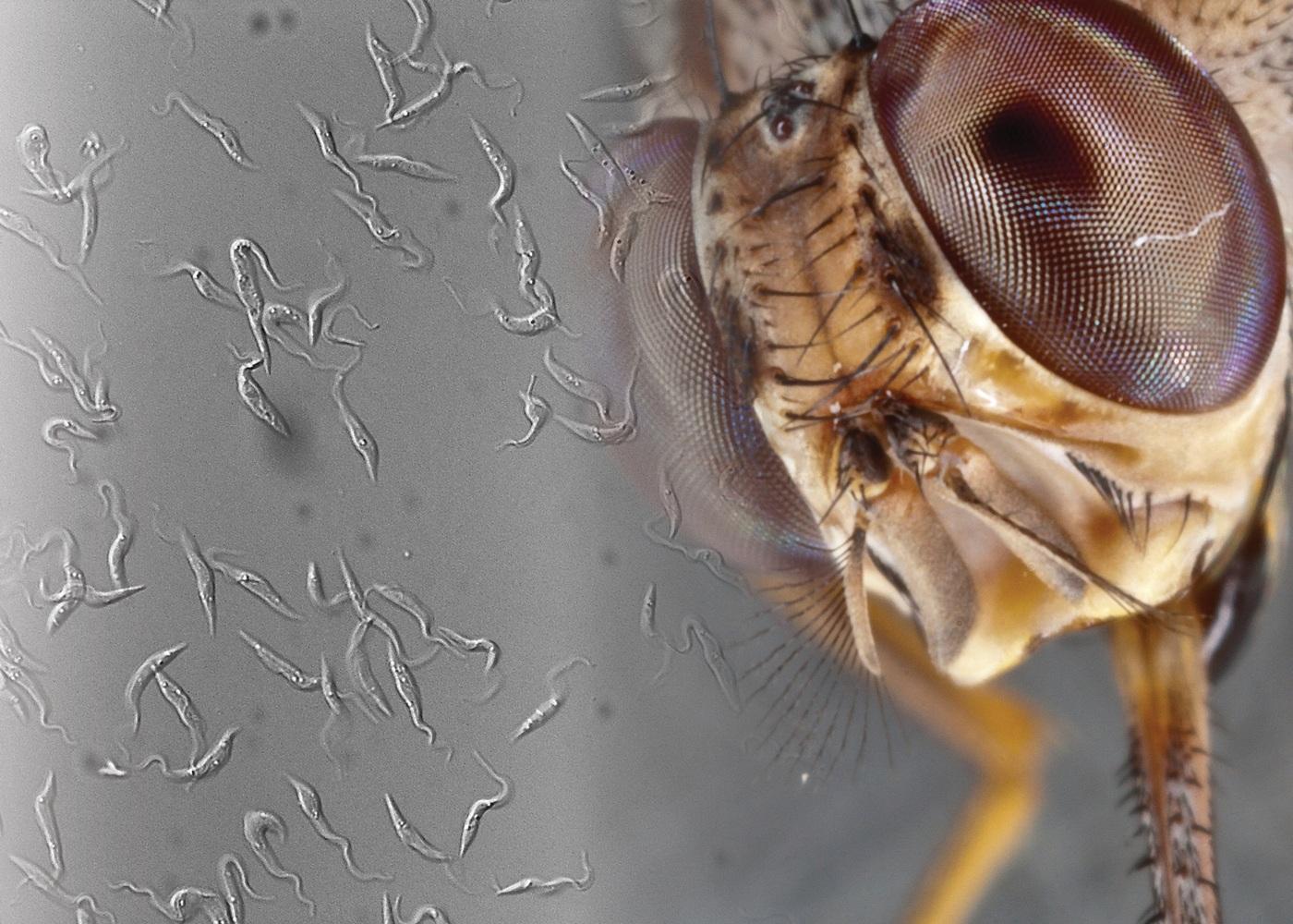 Az állati stádiumokat nem paraziták okozzák hóes helminták