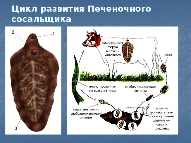 egy bika szalagféreg keresztmetszete