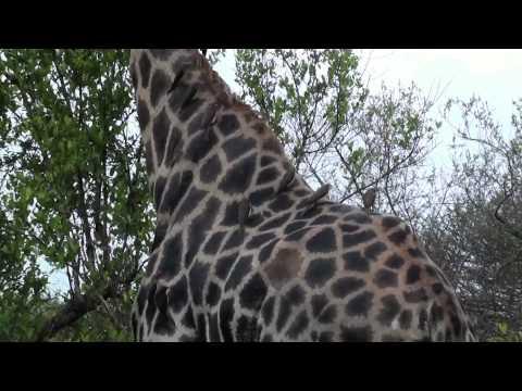 Antilop, Föld, Impala, Koponya, Csápok