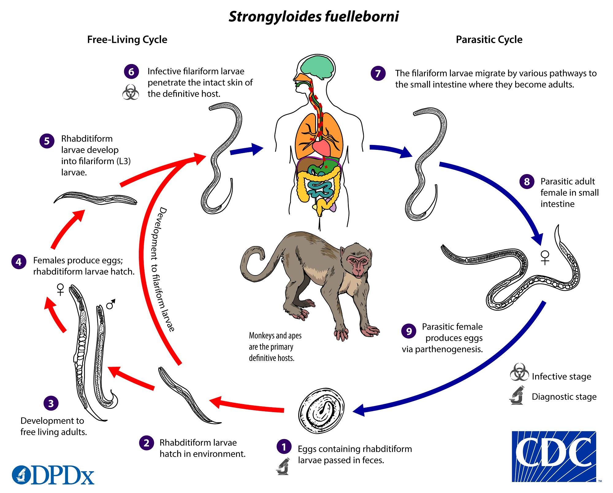 giardiasis egyénnél tünetek hogyan lehet továbbadni a székletből az opisthorchiasist