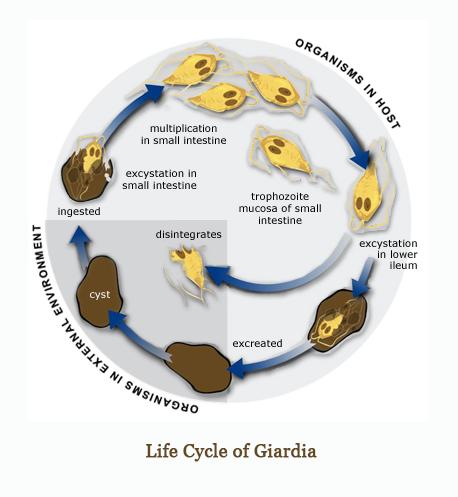Dieta Motoro Ray // nyelvprofil.hu - Giardia nei bambini sintomi