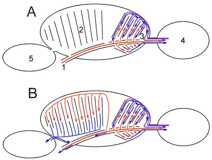 felnőttkori giardiasis hőmérséklete ornidazol giardiasis sémával