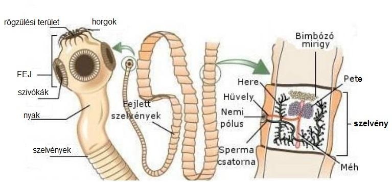 az emberi parazita nem szarvasmarha szalagféreg