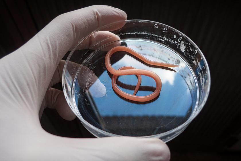 BacteFort - Innovatív formula paraziták ellen!