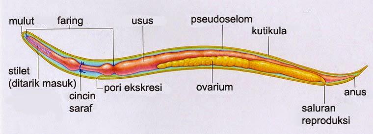filum nemathelminthes lengkap