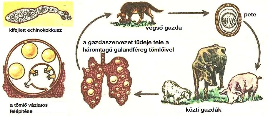 egy helminták morfológiája paraziták a testemben tls