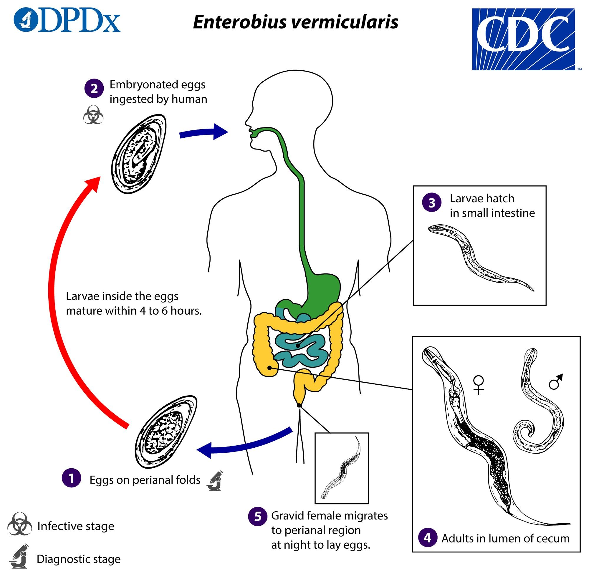 pinworm patogenezis a parazitaktol hogyan lehet felepulni
