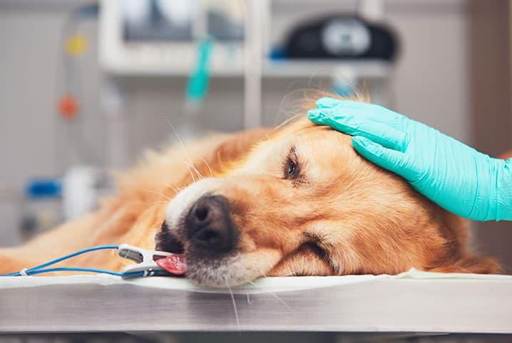 Giardia canina quanto tempo dura. Giardíase (GIARDIA) - Parasitologia jenny talia paraziták