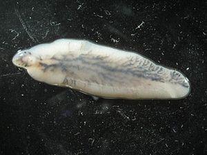 A pinworm paraziták kezelésére szolgáló gyógyszerek - Gyógyszerek pinworms - 6 hatékony gyógyszer