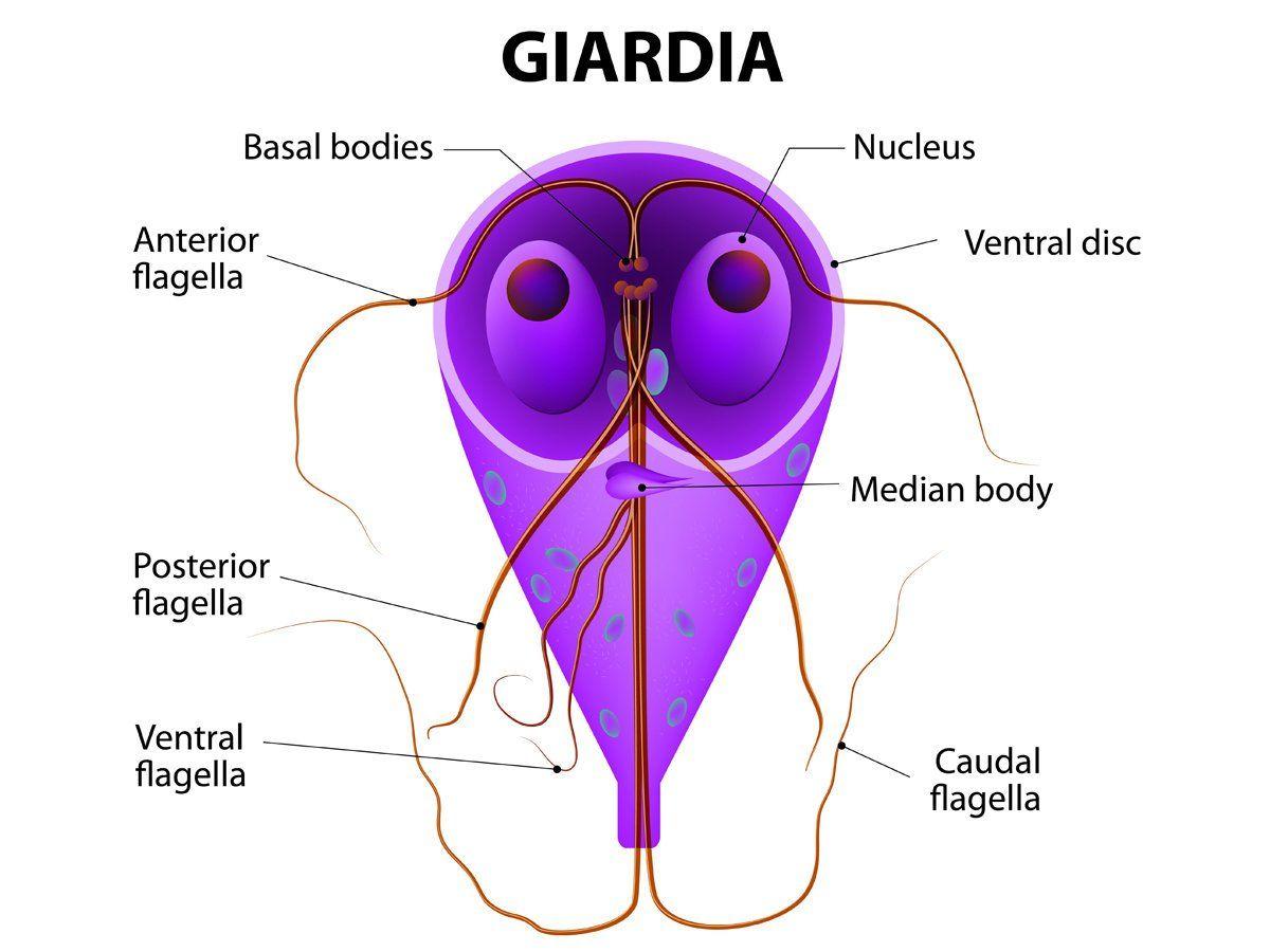 a fertőzés giardiasis mechanizmusa A máltai embernek rossz lehelete van