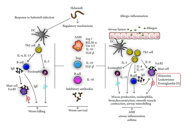 immunoglobulin és helminthiasis