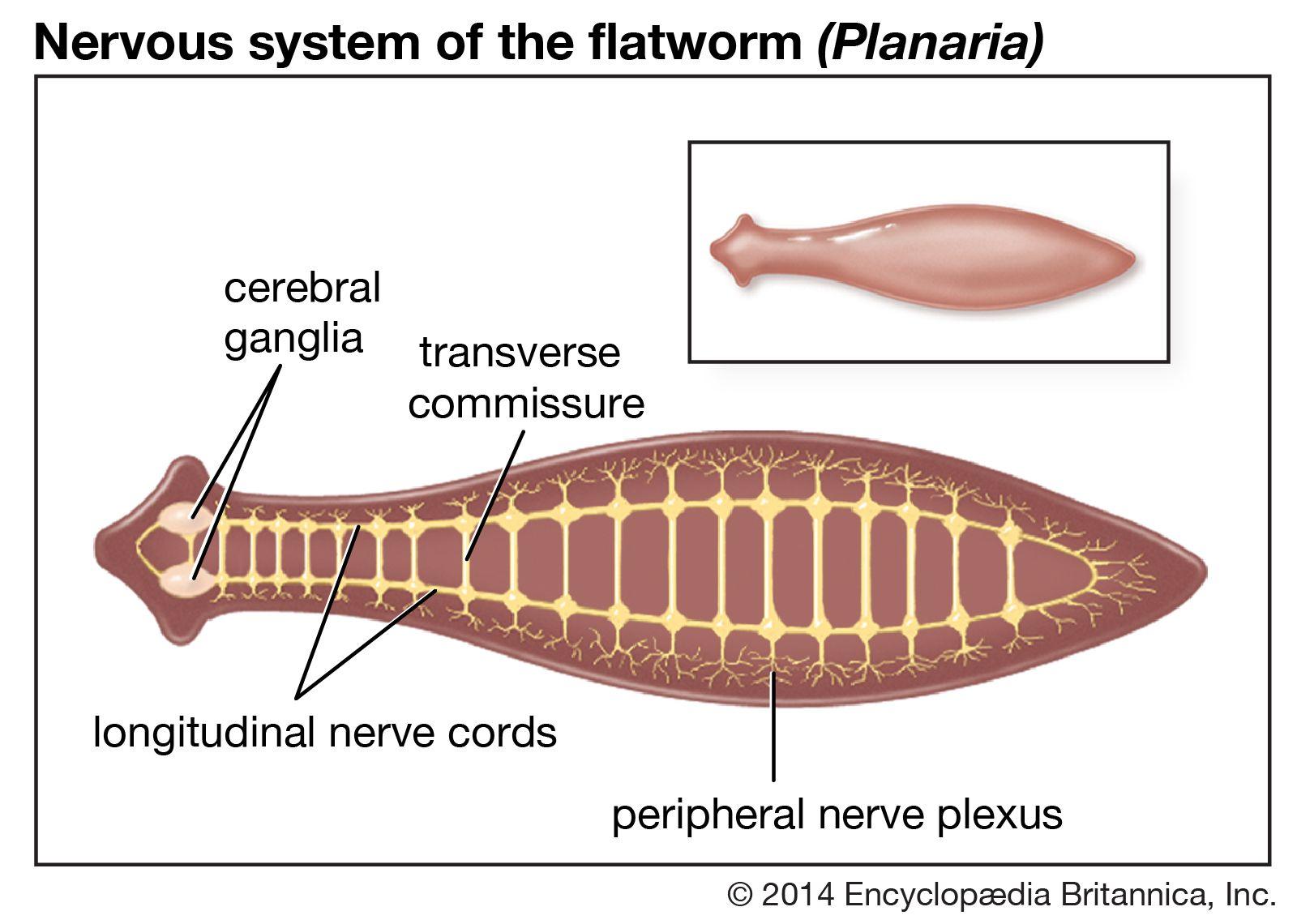 Állati egysejtűek országa (Regnum Protozoa) Ostoros ... - MochaHost