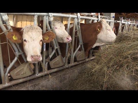 antitestek a szarvasmarha szalagféreghez