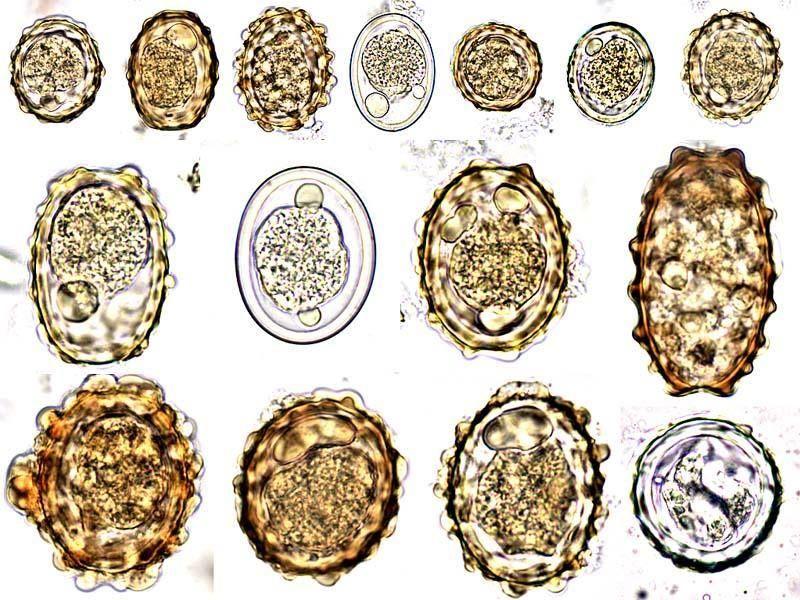 Ascaris tojás gyógynövények szalag parazitákból