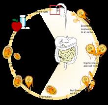 lehetséges e fénysűrűsöt megszerezni pinworms etetéskor