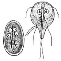 Giardia infectie mens - nyelvprofil.hu