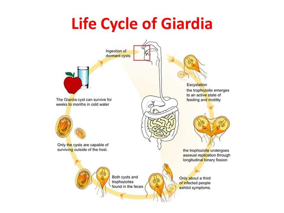 giardia besmettelijk mens