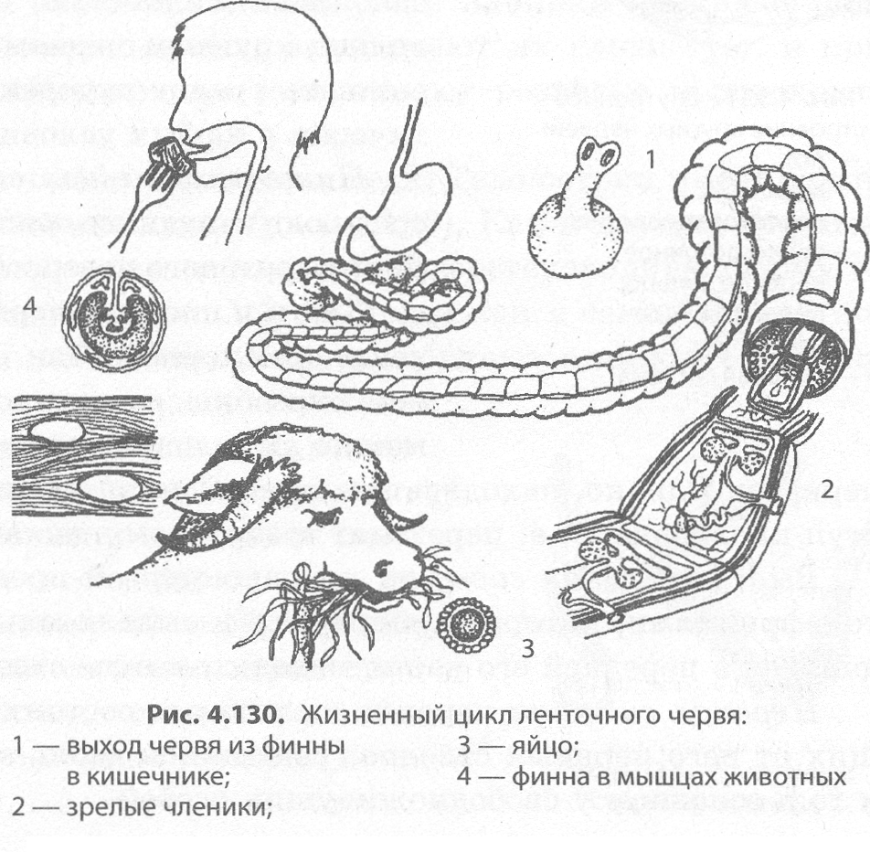 az ember érintett szervei kerekféreggel