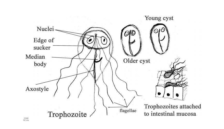 pangásos helminthiasis és protozózis