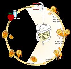 Giardia kat symptomer - Helmint kezelés MS