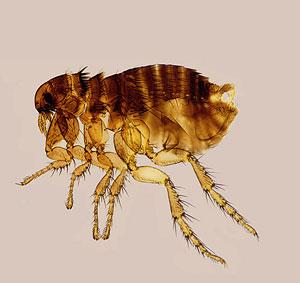 kötelező paraziták azt jelenti hagyományos orvoslás megtisztítása a parazitáktól