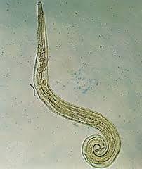 enterobiasis vermicularis