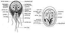Giardia citromsav