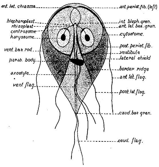 giardia enterica