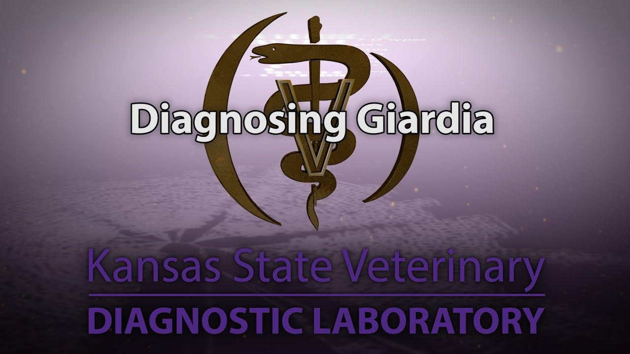 Giardiasis gyermekeknél és felnőtteknél - jelek, tünetek, diagnózis, népi és gyógyszeres kezelés