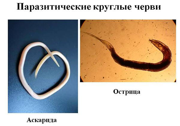Trichinella taxonómia