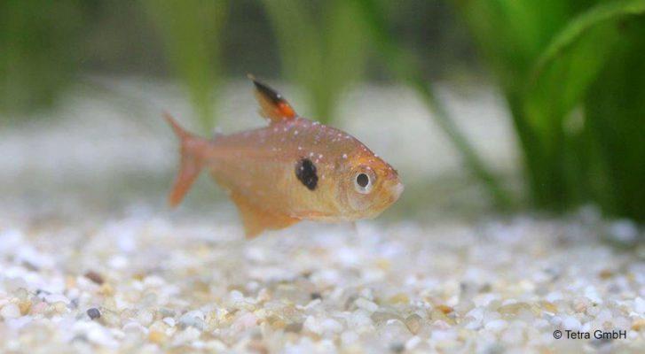 parazita a hal szájában