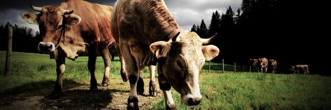 A szarvasmarha- szalagféreg tünetei a testben