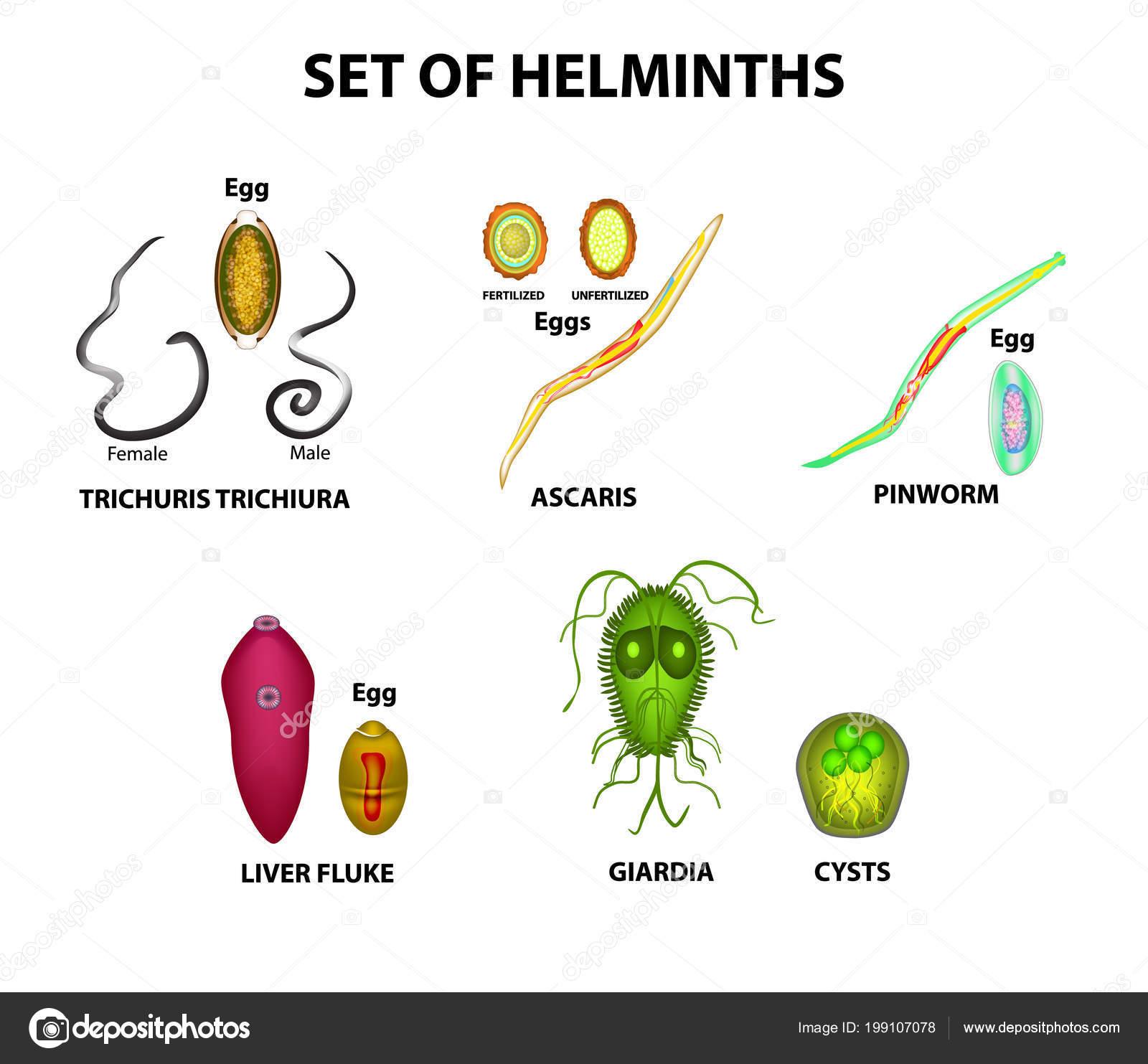 tojások a helminták cisztája lamblia