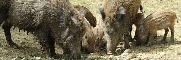 Party Hedgehog - Mettigel - Nyers sertéshéj