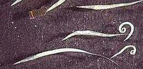 parazita gyógyszer szarvasmarhák számára típusú helminták az emberekben