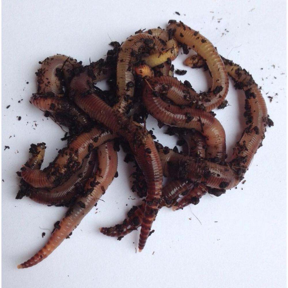 pinworms a nemi szervekben