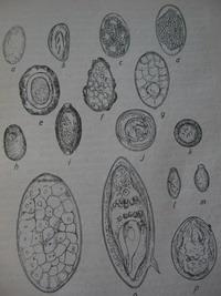 Az Ascaris tojás megtermékenyítés nélkül paraziták kezelése a klinika testében