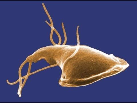 Getting giardia when pregnant, Giardia parazita kutya