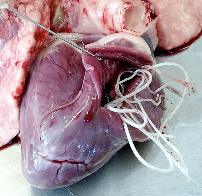 Mi az a szívférgesség? – Turul Állatkórház és Patika