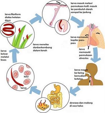 pengertiai filum nemathelminthes necatorosis tünetek kezelése