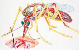 A malária tünetei, kezelése és megelőzése