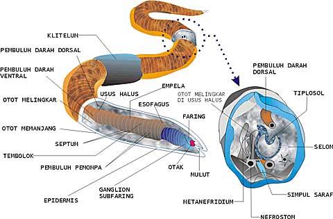 pengertiai filum nemathelminthes hogyan lehet eltávolítani a férgeket a csigákról