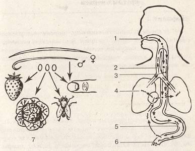 pinworms emberi fejlődési ciklus